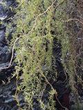 drzewa ogrodowe ogrodowe, ozdobne wierzba mandżurska