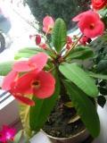wilczomlecz lśniący, Euphorbia millii, korona cierniowa, rośliny doniczkowe, rośliny pokojowe