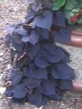 wilec ziemniaczny, galeria roślin