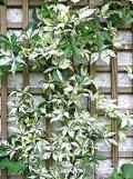 Ogrodnik-amator, opis rośliny, Winobluszcz pięciolistkowy, Parthenocissus quinquefolia Murorum, Ogrodnik-amator. Uprawa winobluszcza pięciolistkowego, opis rośliny