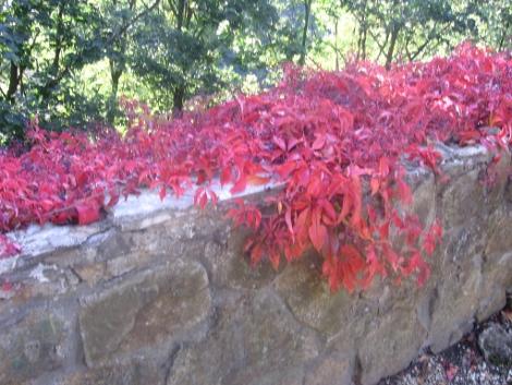 winobluszcz pięciolistkowym, aranżacje z winobluszczem, pnącze, czerwone liście jesienią, galeria ogrodowa