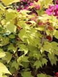 Winobluszcz trójklapowy, Parthenocissus tricuspidata, Boston ivy, uprawa winobluszcza