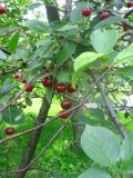 drzewa owocowe WIŚNIA pospolita