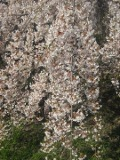 drzewa liściaste wisnia rózowa
