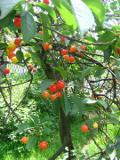 Ogrody, zdjęcia wiśni pospolitej, uprawa wiśni pospolitej, pielęgnacja wiśni pospolitej