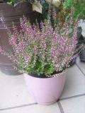 ogród ozdobny , rośliny wrzosowate, rośliny  na balkony i tarasy, wrzosy, liliowe kwiaty, różowe kwiaty,  fioletowe kwiaty