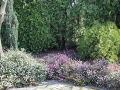 wrzośce, iglaki, wiosenny ogród, wrzśce pod drzewami, pod iglakami, ogród,  w ogrodzie, aranżacje ogrodowa, galeria ogrodowa