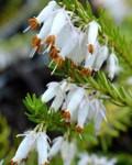 Ogrodnik-amator, opis rośliny, Wrzosiec, Erica carnea,  Winter Flowering Heather, Spring heath, uprawa wrzośców,  krzewy kwitnące wiosną, krzewy o drobnych kwiatach, krzewy na gleby kwaśne, uprawa ogrodu