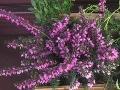 Ogrody, rośliny kwitnące , krzewy wiosenne wrzosiec