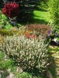 Ogrodnik-amator, opis rośliny, Wrzos, Calluna vulgaris, Heather, uprawa wrzosów, krzew wrzos, kwiat wrzos