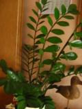 Ogrodnik-amator, opis rośliny, Zamiokulkas zamiolistny, Zamioculcas zamiifolia, Zanzibar Gem, uprawa zamiokulkasa, sukulent, rośliny do domu, rośliny doniczkowe, rośliny pokojowe, rośliny do zacienionych mieszkań,  rośliny bardzo wytrzymałe, sukulenty, rośliny łatwe w uprawie, kwiaty doniczkowe, rośliny o ozdobnych liściach, Ogrodnik - amator