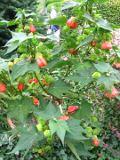 Ogrody, zdjęcia zaślaz mieszańcowy w ogrodzie
