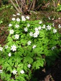rośliny  kwiaty wiosenne , zawilec gajowy