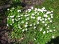 Ogrodnik-amator, opis rośliny, Zawilec gajowy.  Anemone nemorosa ang. Wood Anemone or Wind Flower, uprawa zawilca gajowego, kwiaty wieloletnie, byliny, kwiaty wiosenne, kwiaty białe, kwiaty pod drzewa,  kwiaty ogrodowe, kwiaty do ogrodu naturalistycznego, kwiaty końca zimy, kwiaty wiosny