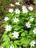 Ogrody, rośliny  wiosenne , zawilec gajowy