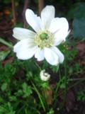 zawilec wieńcowy, galeria roślin ogrodowych