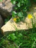 Ogrody, zdjęcia ziarnopłonu wiosennego, ziarnoplon wiosenny w ogrodzie