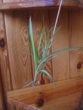 Ogrodnik-amator, opis rośliny, Zielistka, Chlorophytum, Spider Plant, uprawa zielistki,  rośliny do domu, rośliny doniczkowe, rośliny pokojowe, rośliny zielne, byliny, rośliny pokojowe, rośliny o efektownych liściach, rosliny domowe, rośliny doniczkowe, rośliny pokojowe łatwe w uprawie, rośliny efektowna przez cały rok, rośliny łatwe w uprawie, kolorowe liście, rośliny  ozdobne do domu