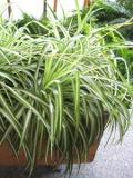 zielistka,   Chlorophytum, , rośliny pokojowe, rośliny doniczkowe
