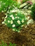 rośliny doniczkowe, złocień krzewiasty