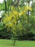 krzewy ogrodowe, ozdobne złotokap