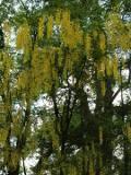 Ogrodnik-amator, opis rośliny, złotokap, Uprawa złotokapów, drzewo złotokapu