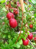 Ogrody, zdjęcia żurawiny wielkoowocowej, żurawina wielkoowocowa  w ogrodzie, ogród użytkowy