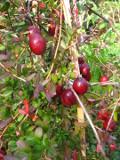ogród użytkowy, owoce, owoce jagodowe żurawina wielkoowocowa
