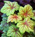 Ogrodnik-amator, opis rośliny, Żurawka, drżączka, Heuchera, Coral flower, Alumroot, uprawa żurawki, kwiaty wieloletnie, byliny, rośliny o ozdobnych liściach, rośliny o kolorowych liściach