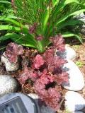 żurawka, zdjęcia roślin, galeria roslin ogrodowych na literę ż