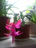 Zygokaktus, kaktus bożonarodzeniowy, grudnik, rośliny pokojowe, rośliny doniczkowe, sukulenty