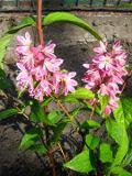 żylistek mieszańcowy, zdjęcia roślin, galeria roslin ogrodowych na literę ż