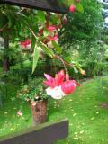 Ogrodnik-amator, opis rośliny, Fuksja, ułanka, Fuchsia, uprawa uprawa fuksji, uprawa ułanki, krzewy kwitnące przez całe lato, krzewy kwitnące jesienią, krzewy o pięknych kwiatach, krzewy o dużych wymaganiach, krzewy na żyzną i wilgotną glebę, Krzewy trudniejsze w uprawie, krzewy liściaste