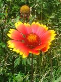 Ogrody, zdjęcia gailardia ogrodowa kwiat,gailardia w ogrodzie