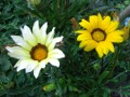 Ogrodnik-amator, opis rośliny, Gazania, uprawa gazanii, kwiat, kwiaty jednoroczne, rosliny o barwnych kwiatach, kwiaty na gleby żyzne, rośliny na gleby wilgotne, rośliny o ozdobnych kwiatach, kwiaty ogrodowe, kwiaty na rabaty, kwiaty na skalniak
