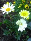kwiaty trudniejsze w uprawie, kwiaty jednoroczne, gazania, kwiaty do ogródka