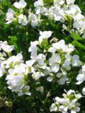 gesiowkag13a.jpg, galeria roślin, zdjęcia, rośliny na literę g