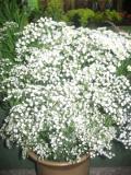 ogród kwiaty ogrodowe , byliny,  kwiaty kwitnące latem gipsówka wiechowata, łyszczec trwały