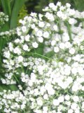 gipsówka, łyszczec, zdjęcia roślin