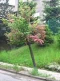 drzewa liściaste łatwe w uprawie, drzewa do ogrodu, ogrodowe drzewe,  dekoracyjne drzewa
