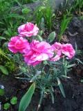 rośliny dwuletnie , gożdzik ogrodowy, rośliny na lato