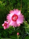 goździk pierzasty, katalog roślin na g, zdjęcia rośliny