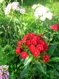 goździk brodaty, katalog roślin na g, zdjęcia rośliny