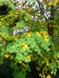 grujecznik japoński, drzewo pachnące, piernikiem