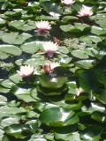 Ogrodnik-amator, opis rośliny, rzybień, lilia wodna, nenufary, Nymphaea, Water lily, uprawa grzybieni, uprawa lili wodnej,  rośliny wodne, rośliny o pięknych kwiatach, Kwiaty wieloletnie, byliny, kwiaty ogrodowe
