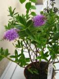 hebe andersonii, zdjęcia rośliny, galeria roślin