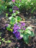 kwiaty jednoroczne, pachnące, heliotrop, heliotropy