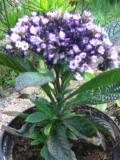 heliotrop, galeria roślin