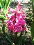 rośliny cebulowe , hiacynty
