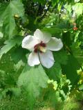 Ogrodnik-amator, opis rośliny, Hibiskus, ketmia syryjska, Hibiscus syriacus, Hibiscus, rosemallow, uprawa hibiskusa, uprawa ketmii syryjskiej, krzewy liściaste, Krzewy trudniejsze w uprawie, krzewy ogrodowe, krzew ogrodowy